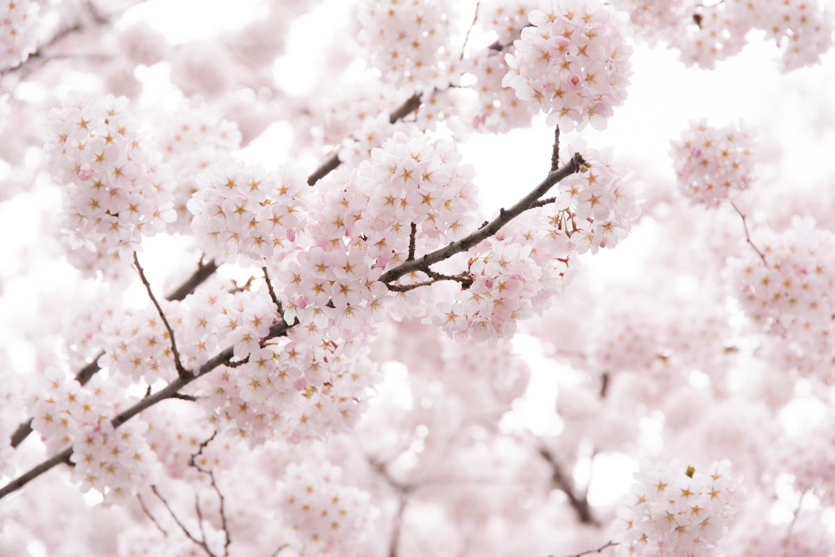官庁街通りの桜-08