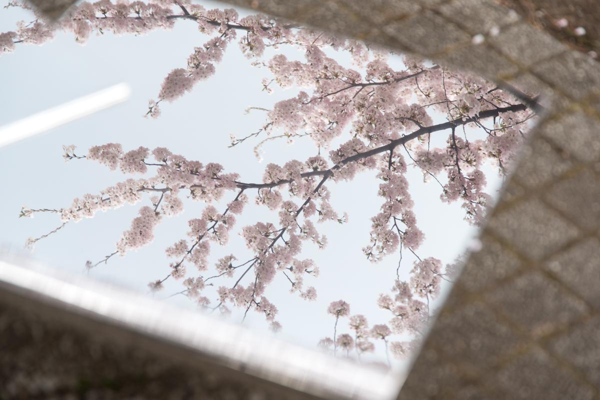 官庁街通りの桜-04