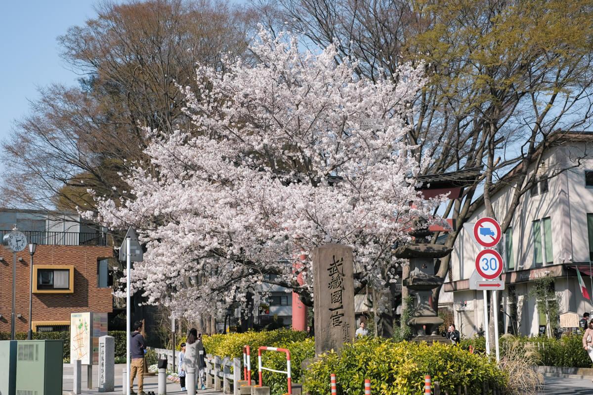 多万里の手前、氷川参道の桜
