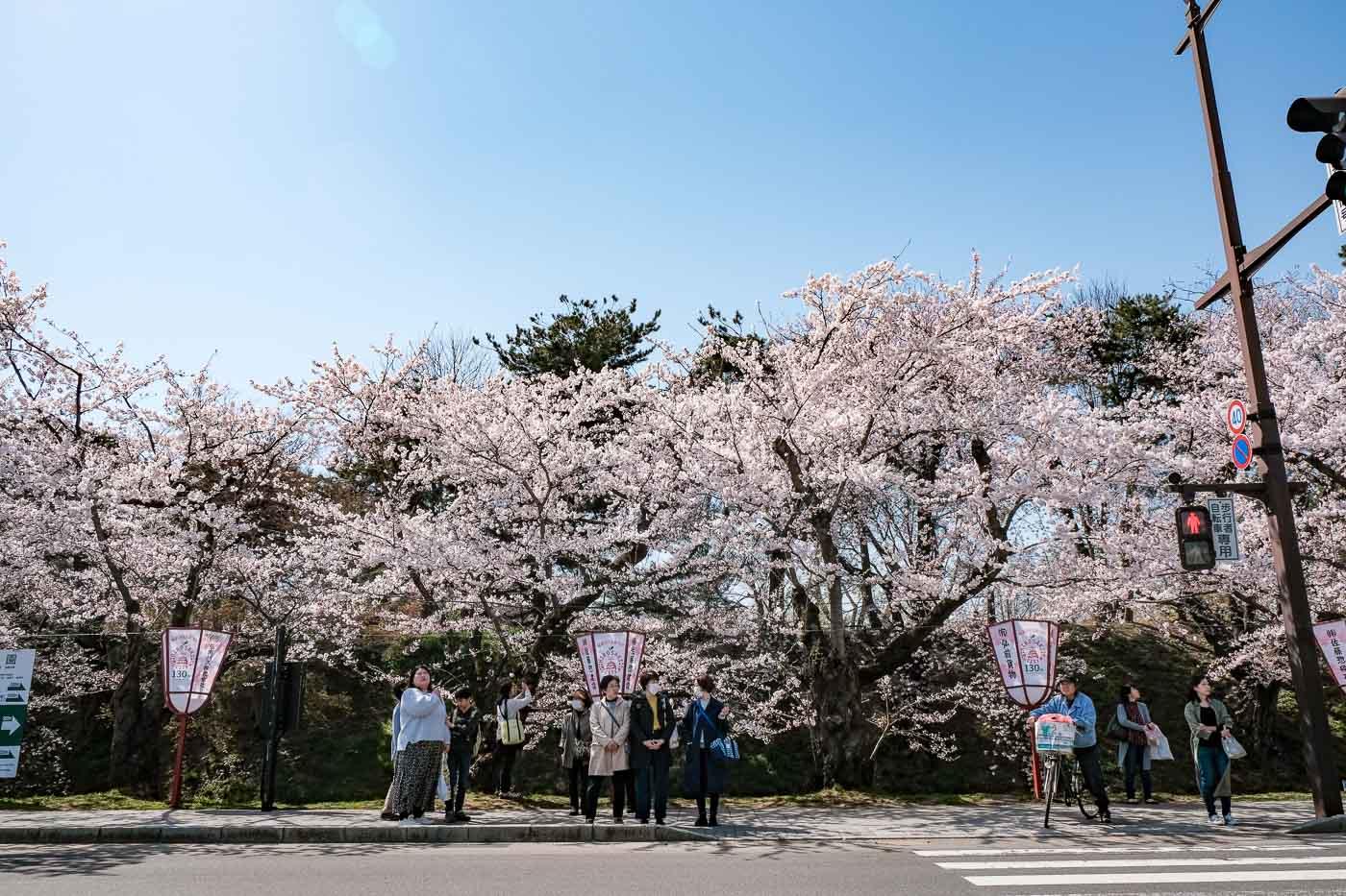 2019弘前の桜-01