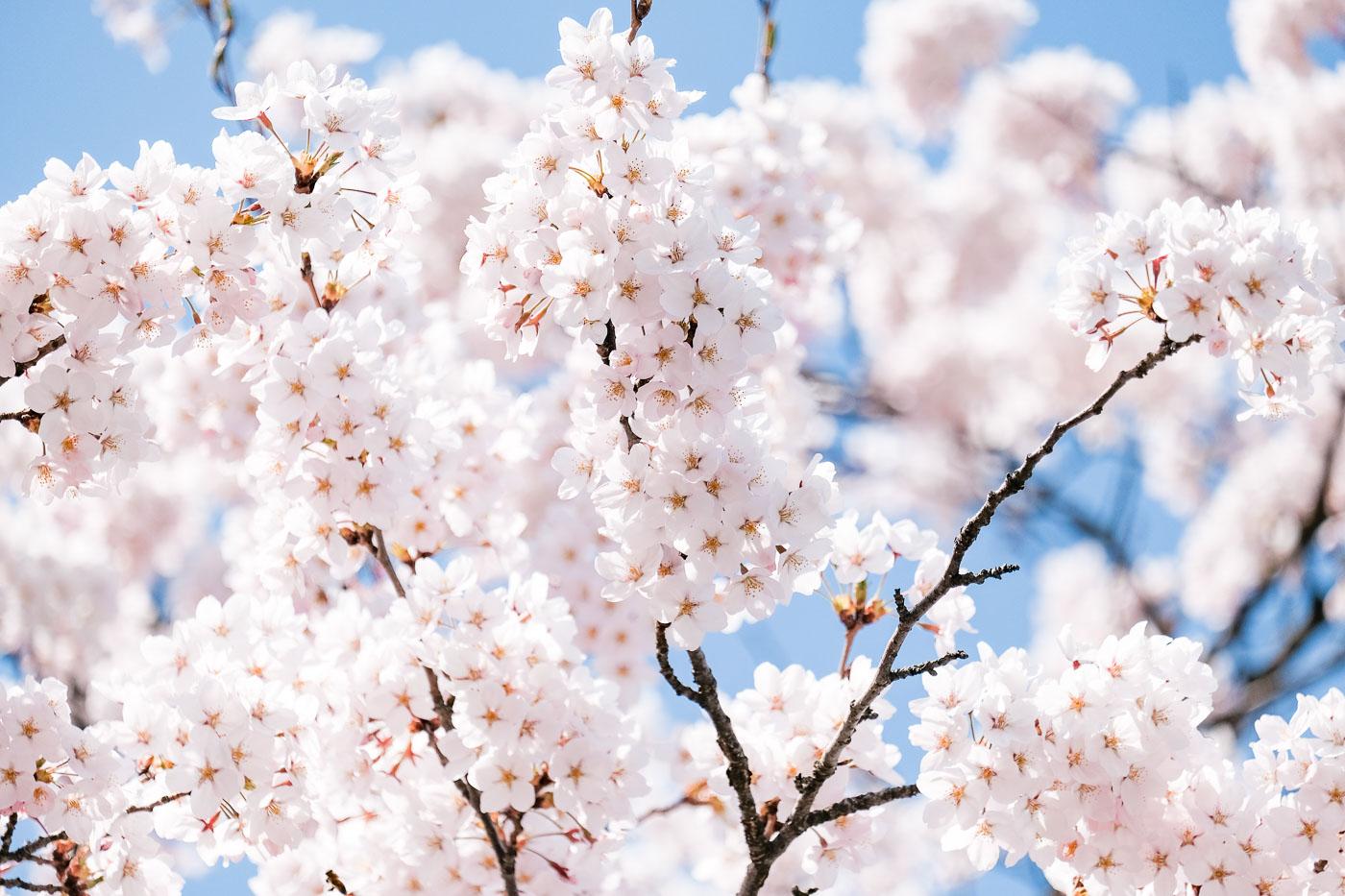 2019弘前の桜-09