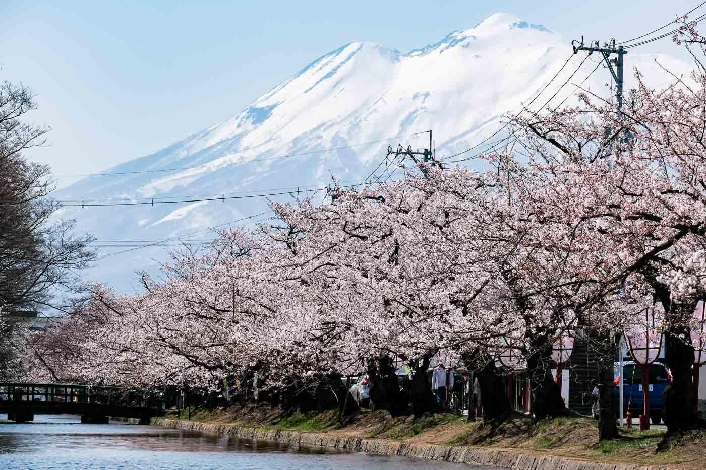 2019弘前の桜-05