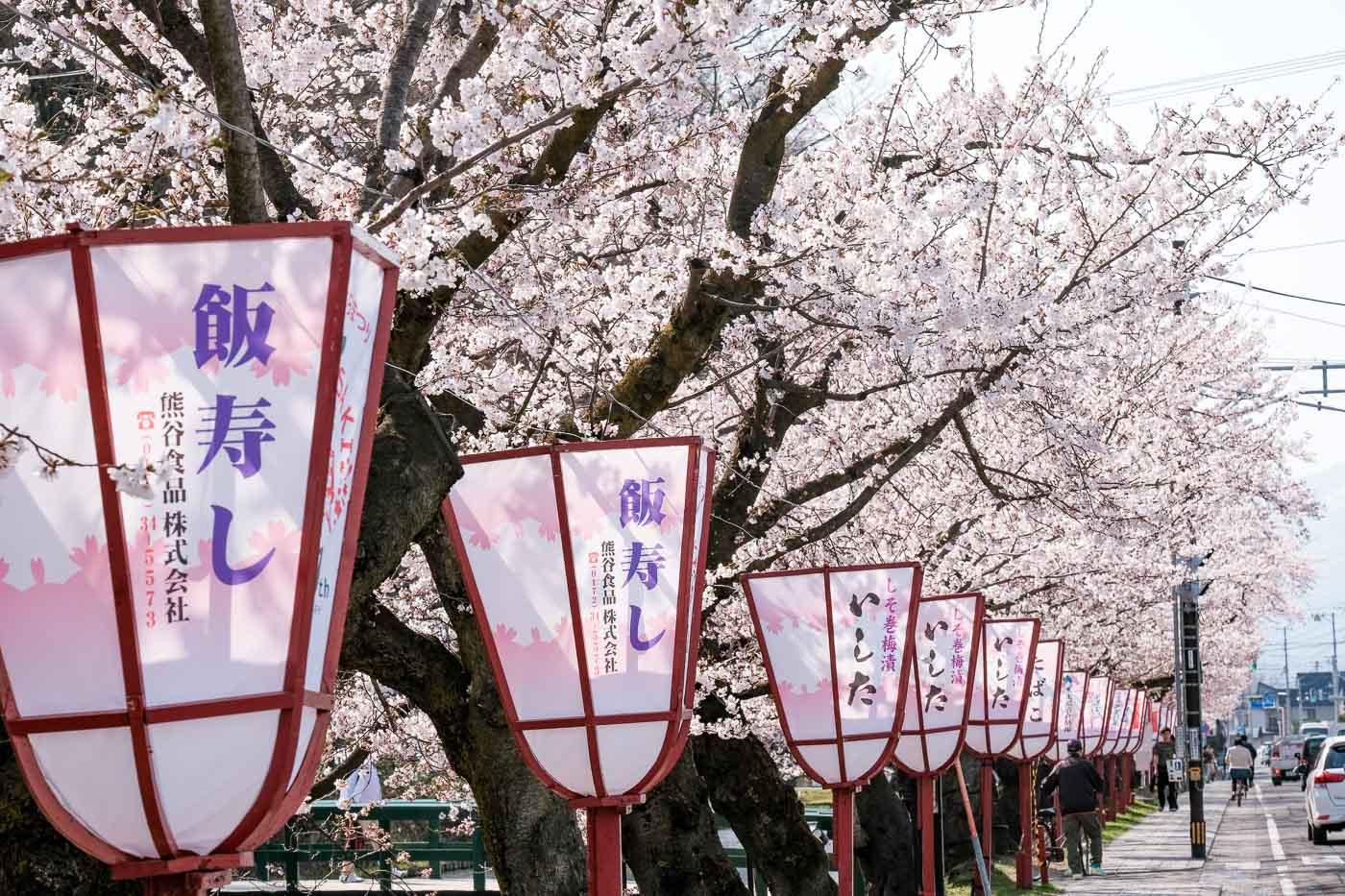 2019弘前の桜-06