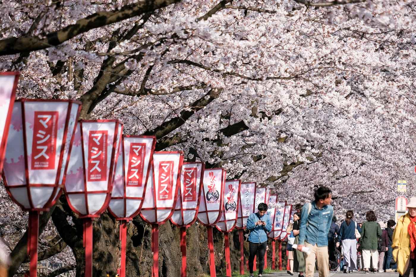 2019弘前の桜-12