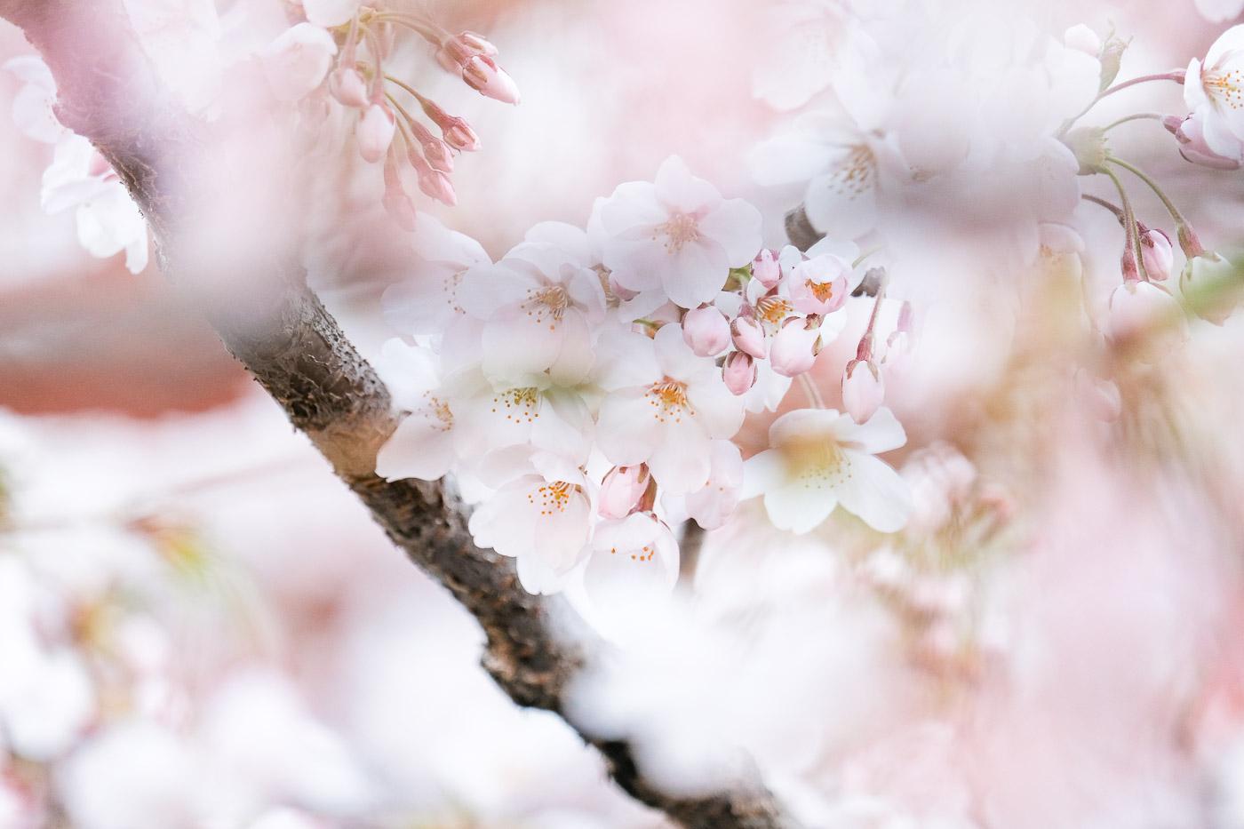 2019弘前の桜-02