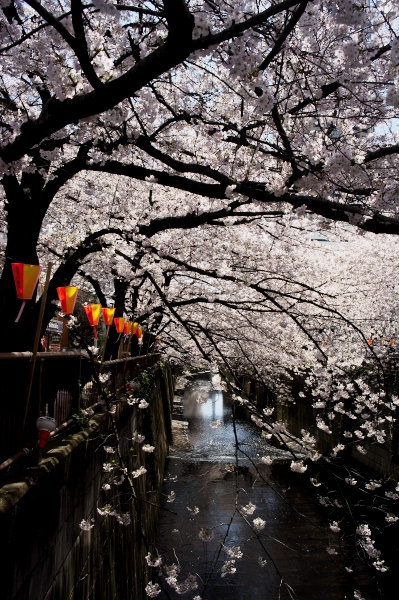 中目黒の桜-04.jpg