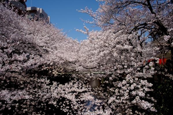 中目黒の桜-05.jpg