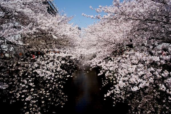 中目黒の桜-08.jpg