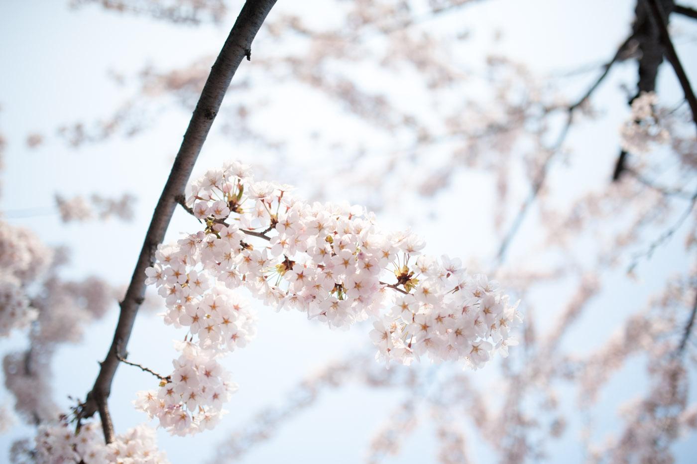 北の桜と八甲田丸-01