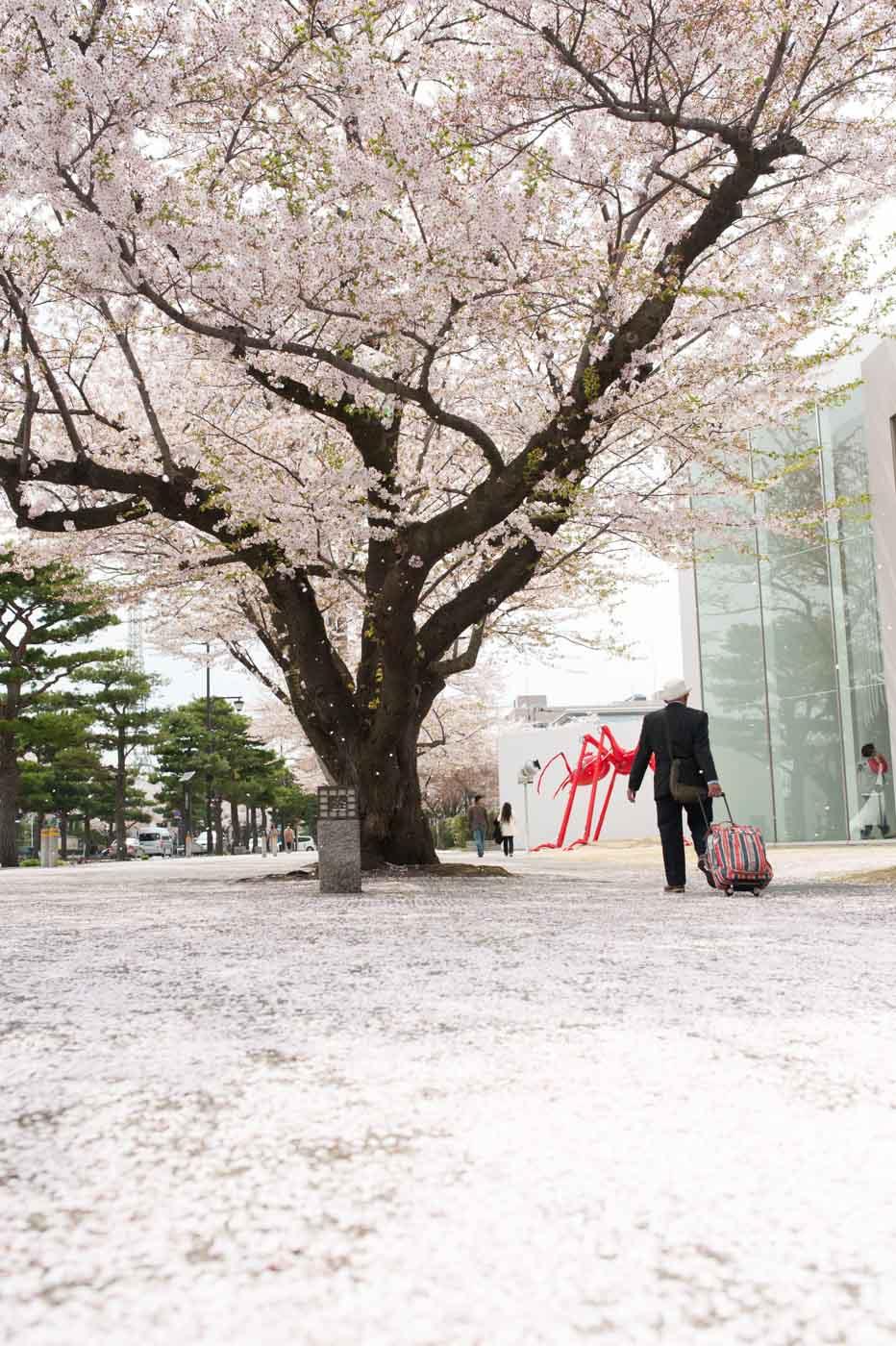 官庁街通りの桜絨毯-01