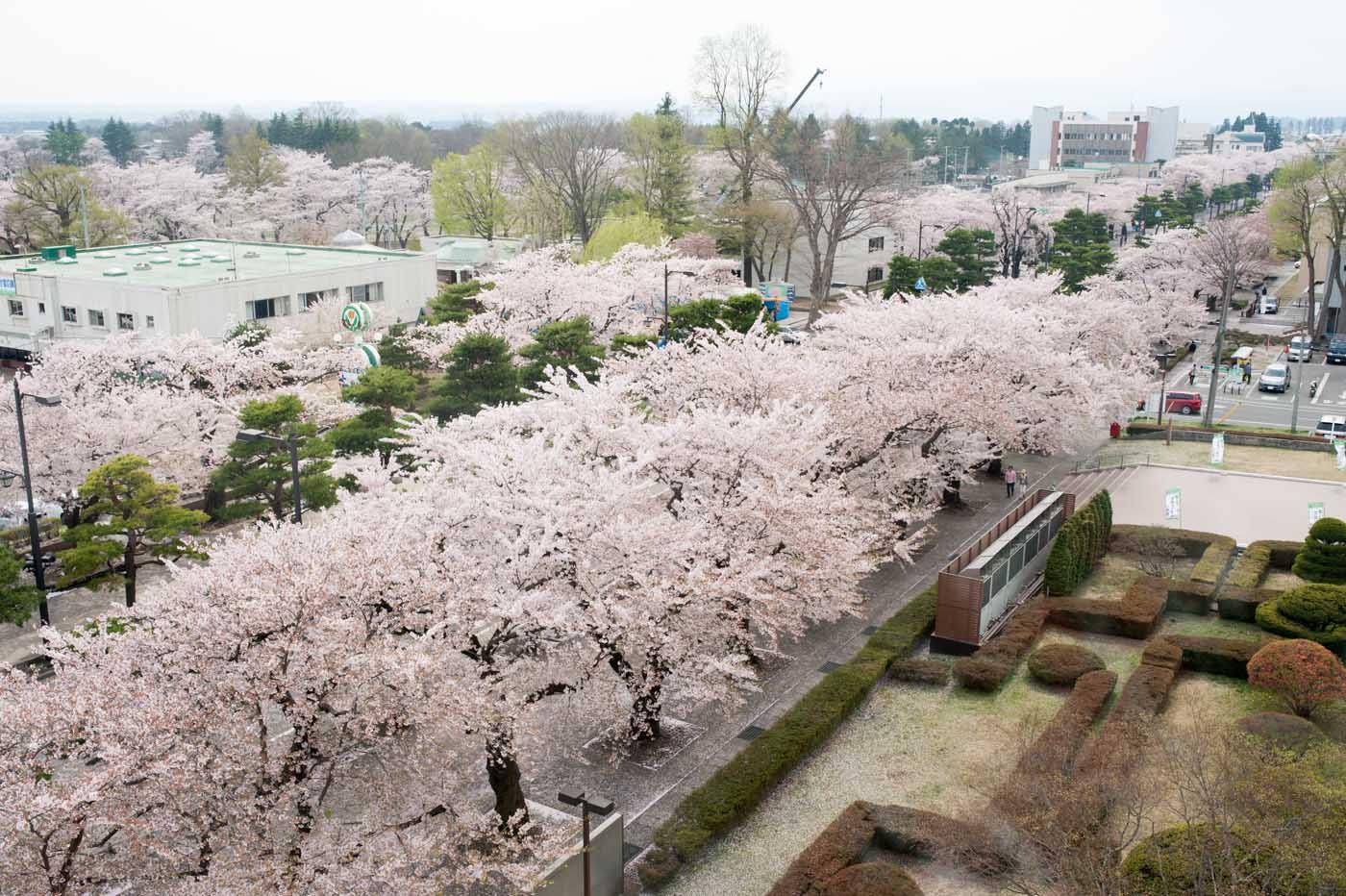 官庁街通りの桜絨毯-02