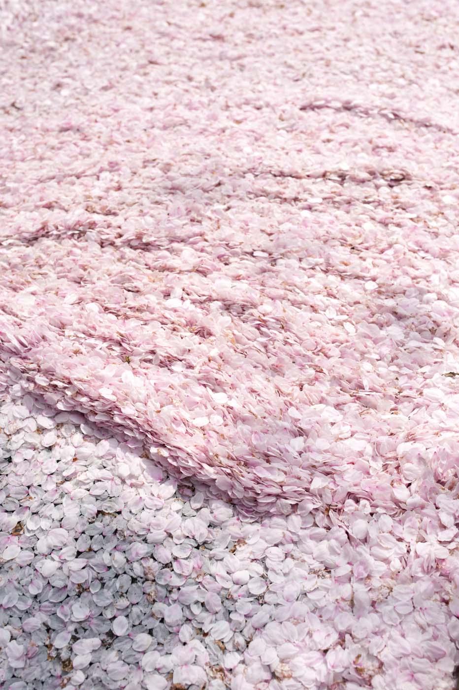 官庁街通りの桜絨毯-03